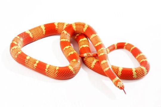 proie trop grosse pour le serpent