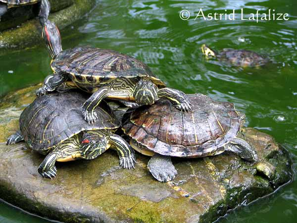 elevage de tortue aquatique