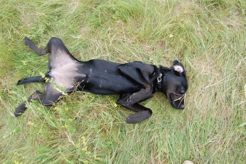86 - FLAVIE X labrador noir et feu 7 mois - en fa