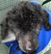 ACHILLE (mâle caniche nain d'environ 12 ANS) - amputé patte arrière - ADOPTE -