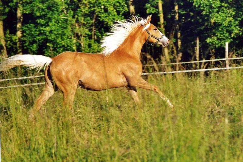 image cheval palomino