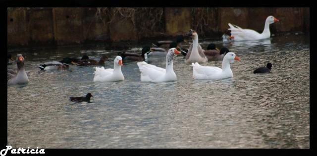Cygnes ou canards blancs dans animaux 34910