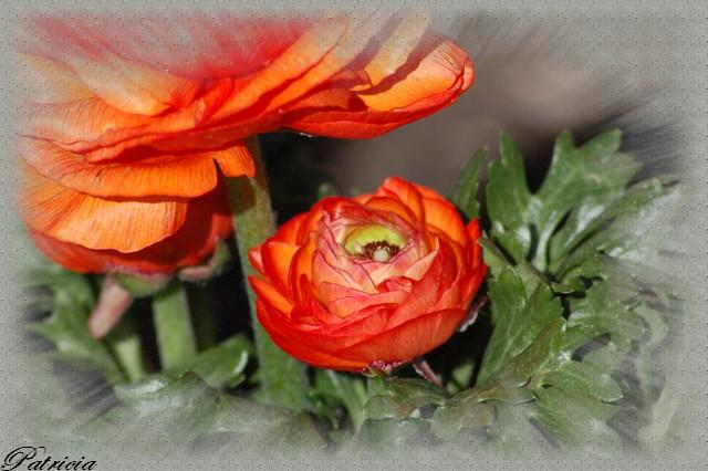 renoncules dans fleurs 4210