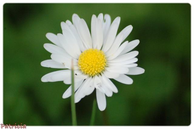 pâquerettes dans fleurs 5610