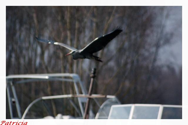 Héron dans animaux heron10