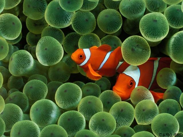 الأسماك الجميلة وقل سبحان الله clown_10.jpg