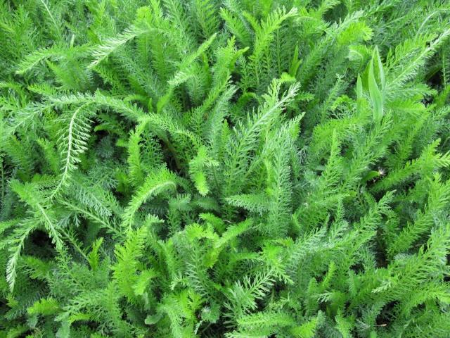 Les plantes sauvages comestibles par le lapin for Plantes belgique