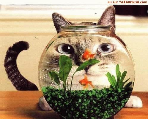 Chat derrière un bocal à poisson rouge
