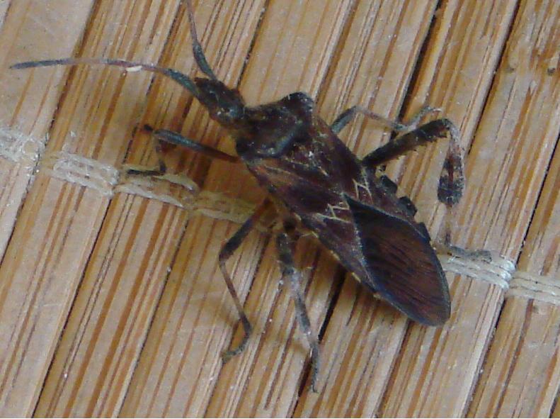 insectes charpente bois obtenez des id es de design int ressantes en utilisant. Black Bedroom Furniture Sets. Home Design Ideas