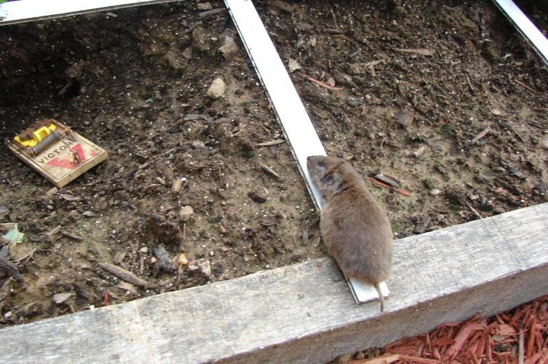 Moles voles and holes - Volle trap ...