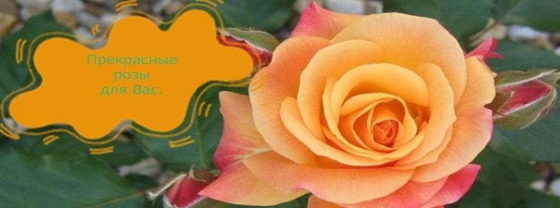 Прекрасные розы для вас.