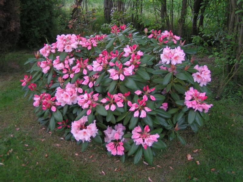 Choix rhododendron - Rhododendron ne fleurit pas ...