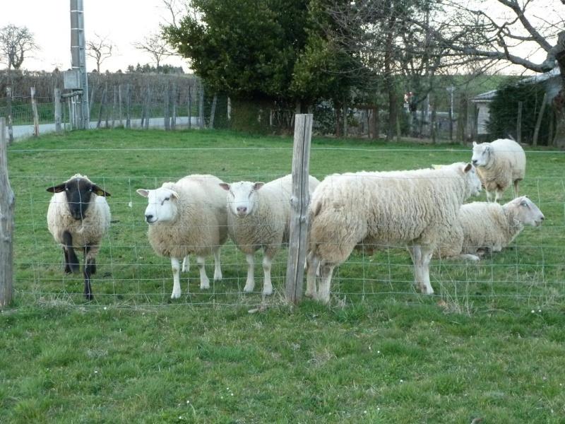1 2 3... moutons ! dans Dans mon Jardin 3mouto10