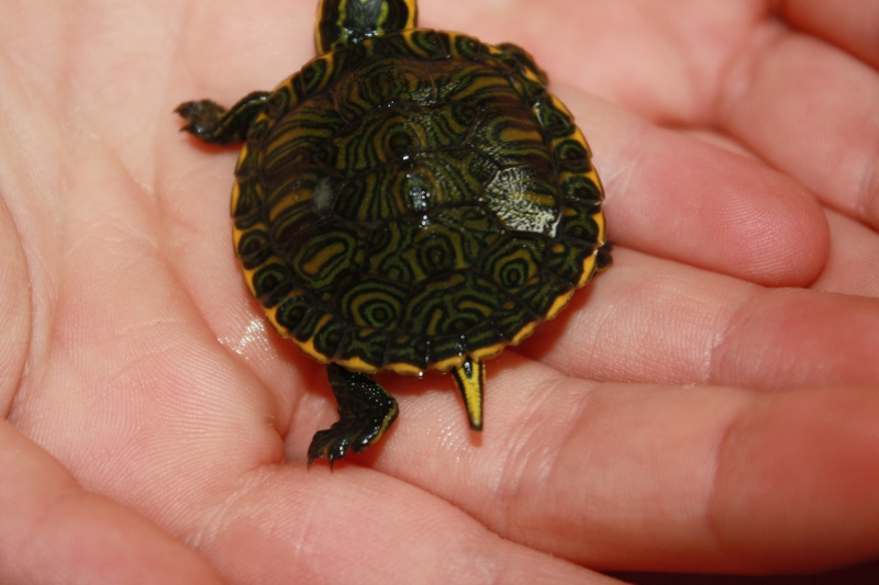 Identification de notre tortue for Aquarium tortue aquatique